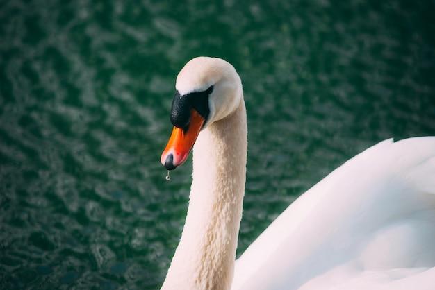 Foto des schönen schwans, der auf donau am schönen frühlingstag schwimmt