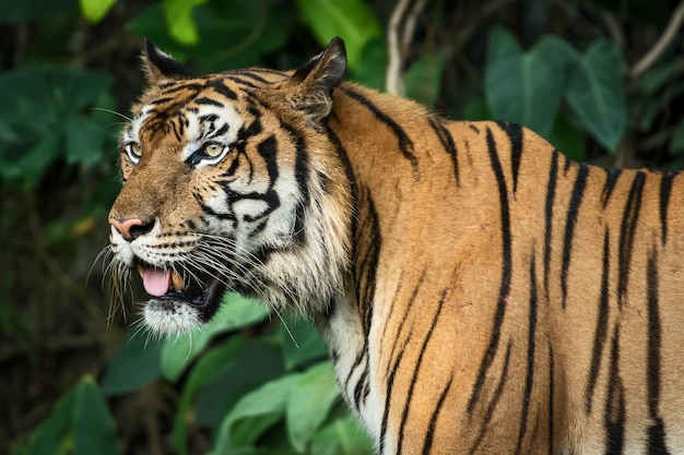 Foto des tigers natürlich.