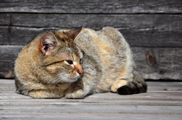 Foto einer mehrfarbigen starken katze, die faul auf eine holzoberfläche legt