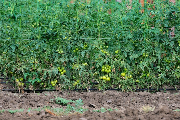 Foto einer plantage von tomaten mit grünen früchten