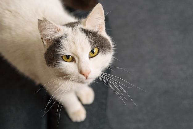 Foto einer süßen weißen katze, die in die kamera schaut und auf einem grauen sofa sitzt