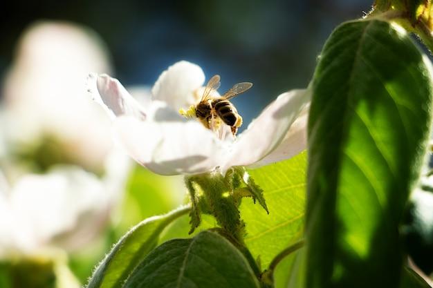 Foto eines blühenden apfels oder einer quitte im sonnenlichtkonzept der frühlingsblüte
