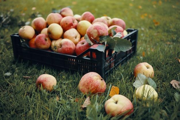 Foto im freien von frisch gepflückten roten äpfeln in plastikkiste und einigen früchten, die auf grünem gras verstreut sind. erntezeit, herbst, gartenbau, gartenarbeit, natürliche bio-lebensmittel und ernährungskonzept