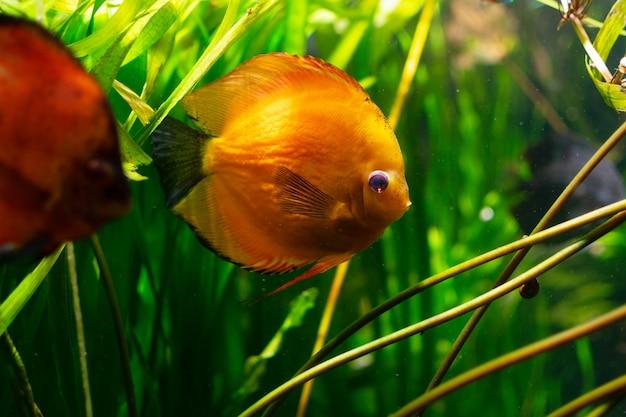 Foto von diskusfischen im aquarium