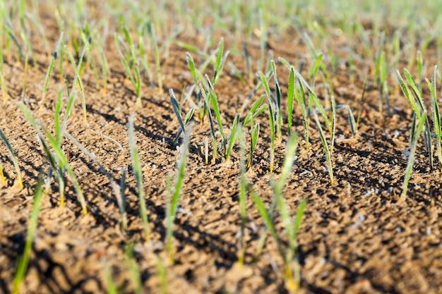 Foto von kleinen weizenstielen bedeckt mit raureif in der herbstsaison, landwirtschaftliche feldnahaufnahme
