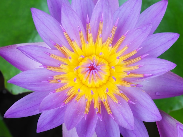 Foto von lotusblumen im teich