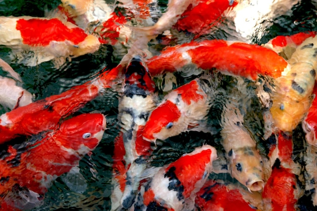 Fotografie von koi-fischen schwimmen in wellen an einem teich draufsicht des bunten fischhintergrundmaterials