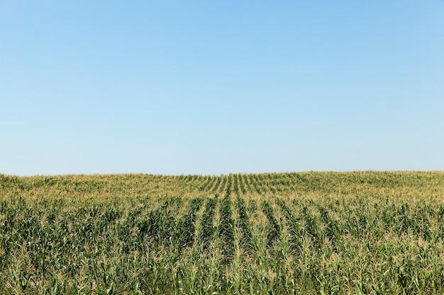 Fotografiert im sommer unreifes grünes feld mit mais, blauer himmel