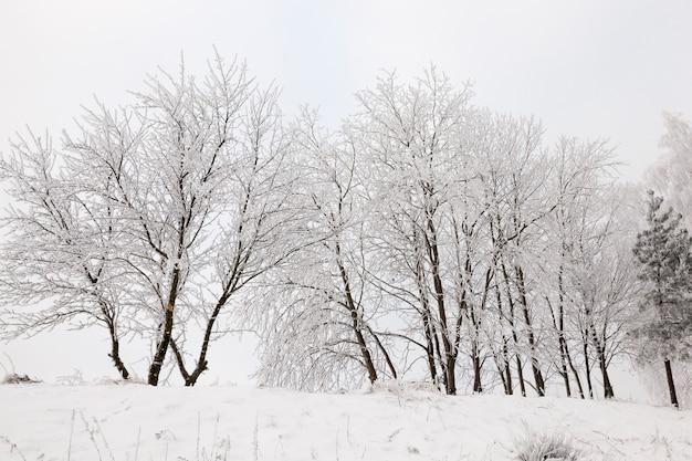 Fotografierte bäume, die in der wintersaison im wald wachsen. auf den zweigen bildete sich ein raureif. auf dem boden liegt schnee nach schneefall