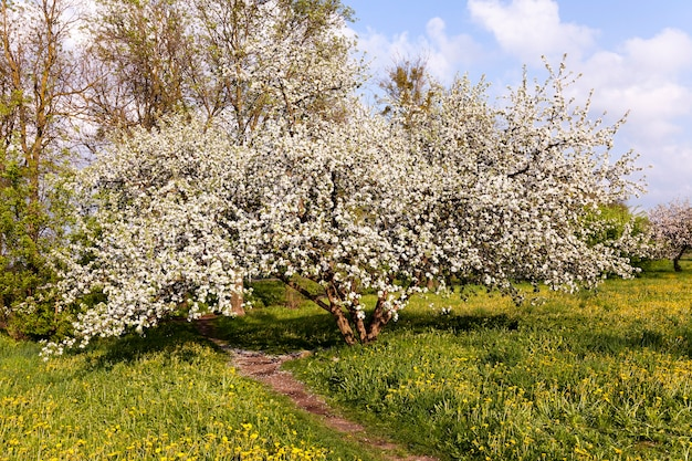 Fotografierte blumen weiße kirschblüten. frühling