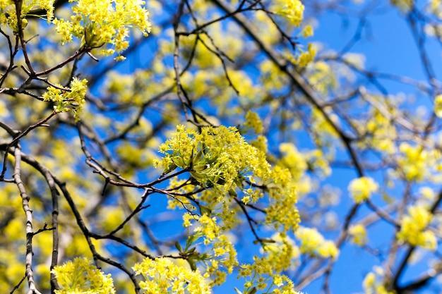 Fotografierte grüne und gelbe nahaufnahmeblumen eines blühenden baumahorns. frühling