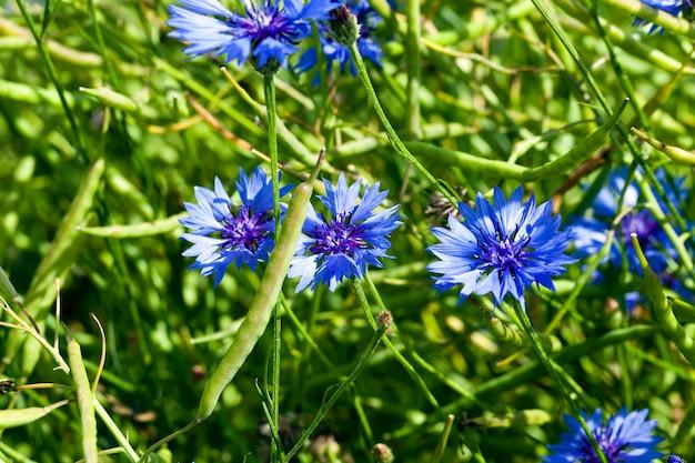 Fotografierte nahaufnahme der blauen kornblume, die in einem feld wächst. frühling