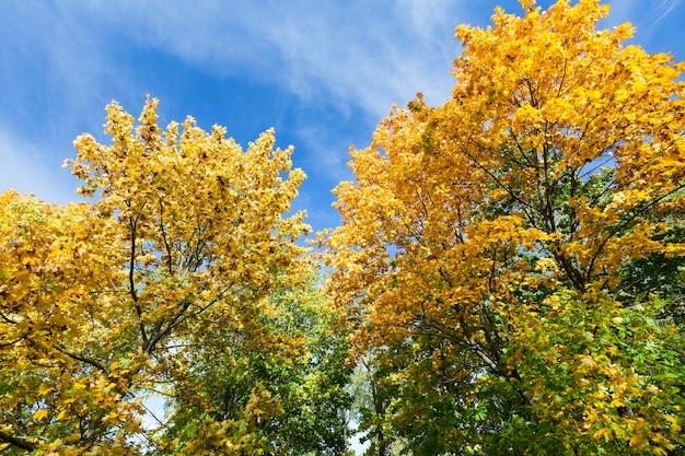 Fotografierte nahaufnahme des vergilbten laubes eines ahornbaums in der herbstsaison. die sonne beleuchtet die pflanzen zurück, hintergrundbeleuchtung. himmel im hintergrund