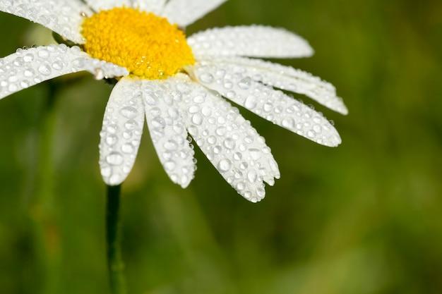Fotografierte nahaufnahme-gänseblümchenblume mit weißen blütenblättern, die mit wassertropfen bedeckt sind. gegen das grüne gras