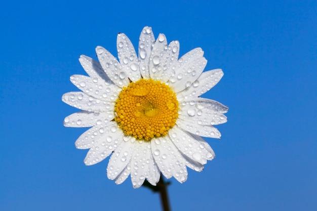 Fotografierte nahaufnahme-gänseblümchenblume mit weißen blütenblättern, die mit wassertropfen bedeckt sind. vor dem hintergrund des blauen himmels