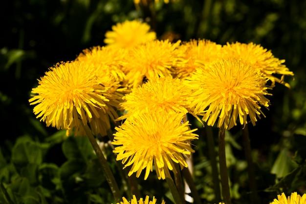Fotografierte nahaufnahme gelbe löwenzahnblumen. natur