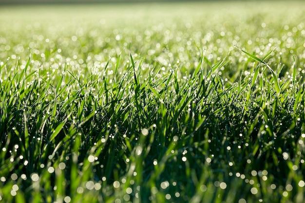 Fotografierte nahaufnahme junger graspflanzen grüner weizen, der auf landwirtschaftlichem feld, landwirtschaft, morgentau auf blättern wächst,