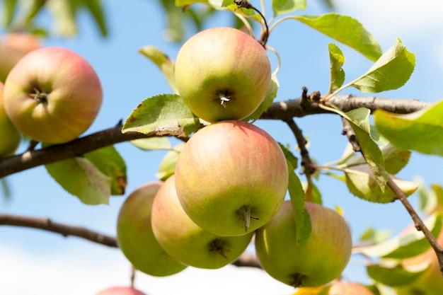 Fotografierte nahaufnahme von äpfeln, die auf den bäumen im obstgarten wachsen. die sommersaison, eine kleine schärfentiefe