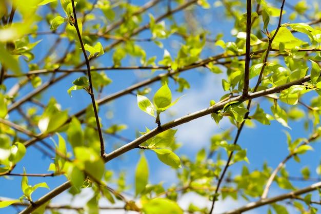 Fotografierte nahaufnahme von grünen lindenblättern in der frühlingszeit des jahres, im blauen himmel mit wolken