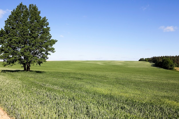 Fotografierte unreifes grünes gras im sommer, blauer himmel