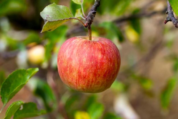 Fotografierter apfelbaum aus der nähe, an dem reife äpfel hängen