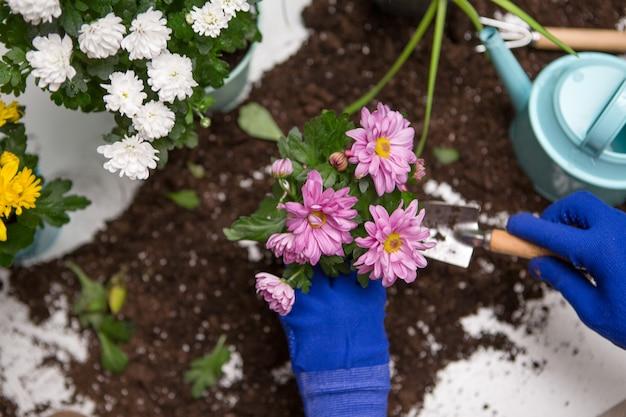 Fotos von der spitze der hände der person in den blauen handschuhen, die chrysantheme verpflanzen