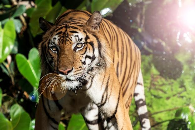 Fotos von tiger natürlich.