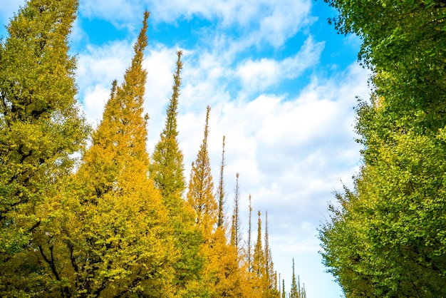 Four lane road zwei seiten des ginkgo big tree