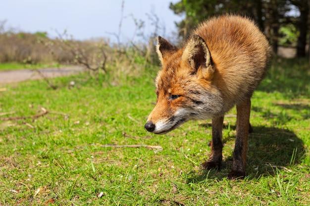 Fox bleiben