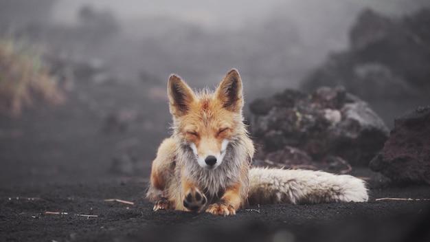 Fox legt sich in die wildnis
