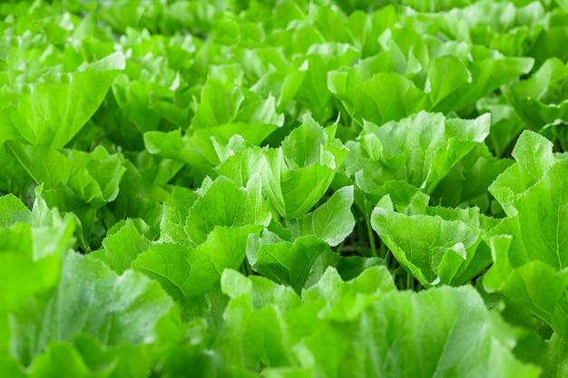 Fragment der plantage von gemüsekürbis große blätter und stängel hausgemachtes essen