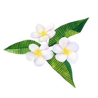 Frangipani oder plumeria. weiße blüten und grüne tropische blätter. hand gezeichnete aquarellillustration. isoliert.