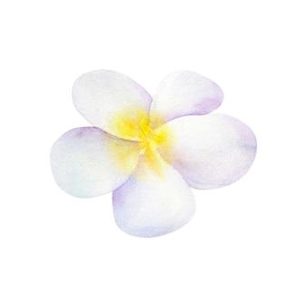 Frangipani oder plumeria. weiße blume. hand gezeichnete aquarellillustration. isoliert.
