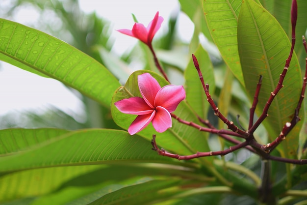 Frangipani plumeria tiare-blume tahitian gardenia natürliches thailand-nahaufnahme copyspace