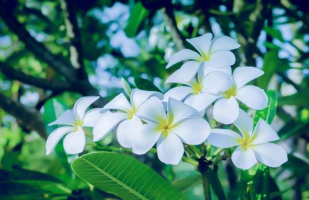 Frangipaniblume oder plumeria-badekurortblume, die im frischen naturhintergrund des gartens blüht