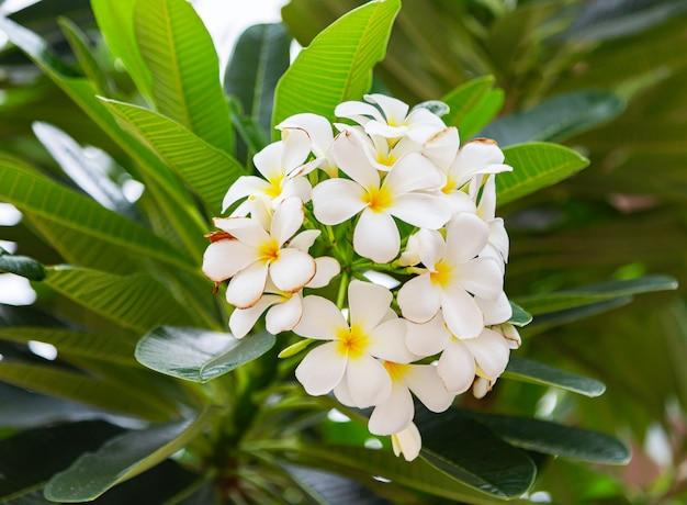 Frangipaniblumen schließen herauf schönen plumeria.