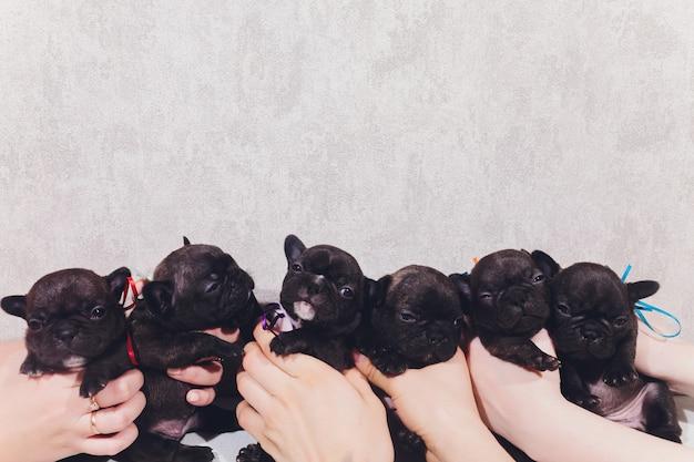 Französische baby-bulldoggenwelpen, die welpen sitzen und zur seite schauen.