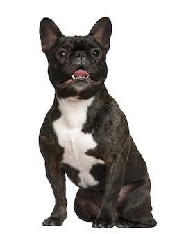 Französische bulldogge, 3 jahre alt, sitzt vor weißer wand