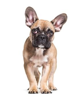 Französische bulldogge, 5 monate alt, stehend gegen weiße oberfläche