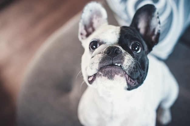 Französische bulldogge auf dem grauen sofa, welches die kamera betrachtet