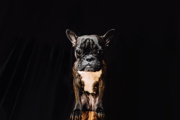 Französische bulldogge auf schwarzem hintergrund die bulldogge sieht dich direkt an