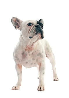 Französische bulldogge auf weiß