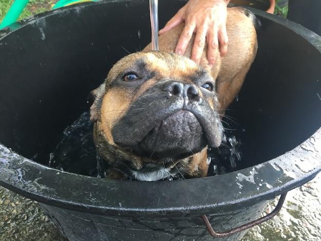 Französische bulldogge badete im plastikpool.
