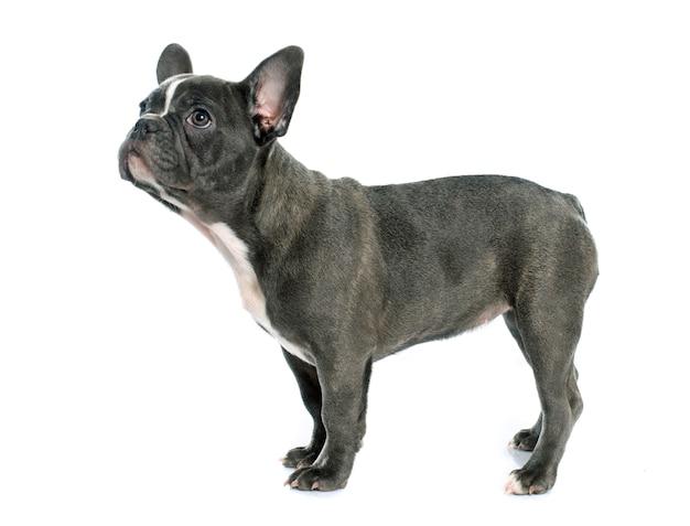Französische bulldogge des welpen