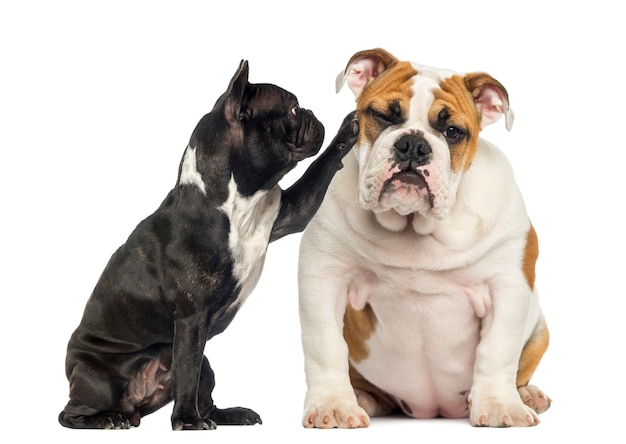 Französische bulldogge, die an einer gelangweilten englischen bulldogge erreicht, die auf weiß isoliert wird