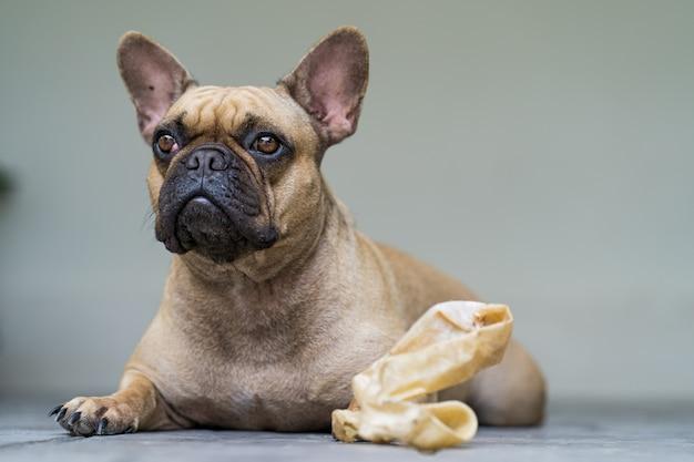 Französische bulldogge, die auf dem boden mit dem rohhautknochen liegt