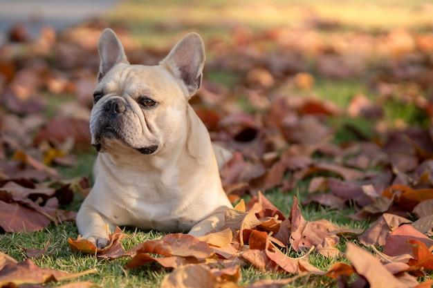 Französische bulldogge, die auf herbstblättern liegt