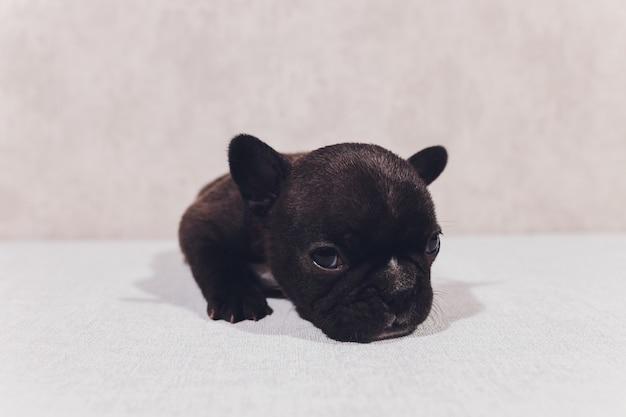 Französische bulldogge, die betrachter mit reflexion betrachtet