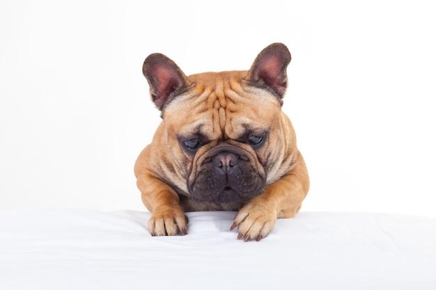 Französische bulldogge, die den boden mit seinen ohren angehoben betrachtet
