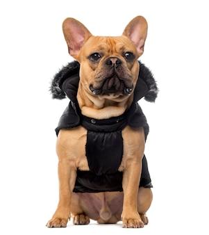 Französische bulldogge, die einen mantel vor der weißen wand trägt